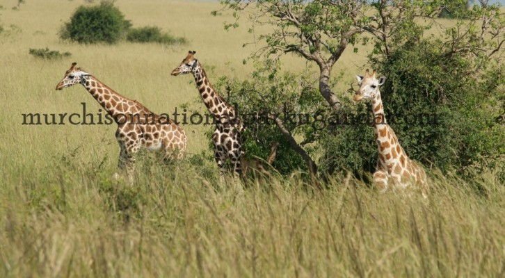girafes at murchison falls national park