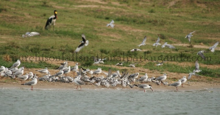 variety of birds at murchison falls
