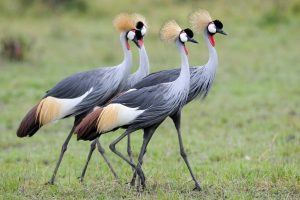 The Grey crowned crested crane