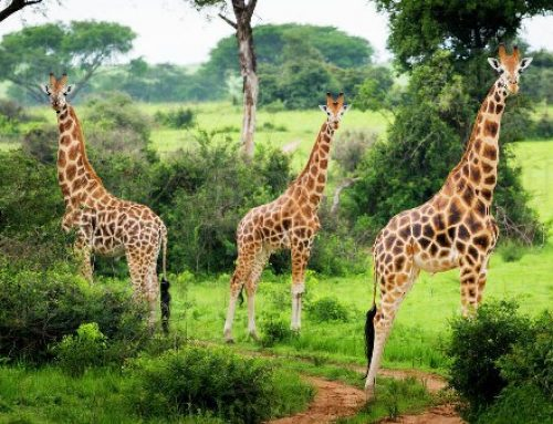 Rothschild Giraffe in Murchison Falls National Park – Uganda Safari News