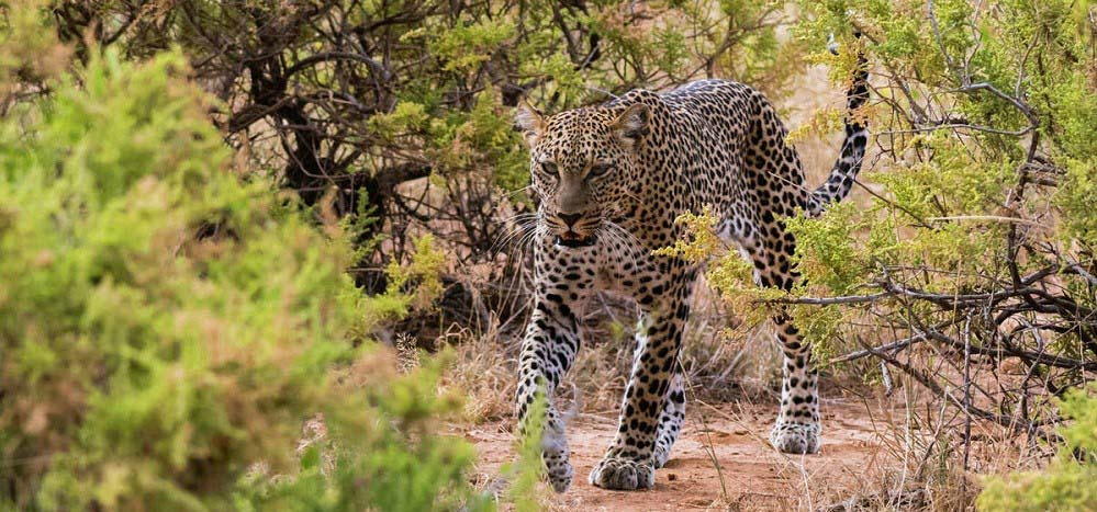 Leopards in Murchison falls park