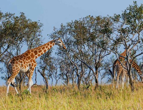 Fascinating facts that will make you want to see a Rothschild giraffe on your Uganda wildlife safari