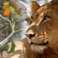 Facts about Uganda lions