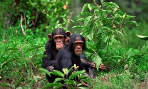 chimpanzees at Kibale Forest National Park