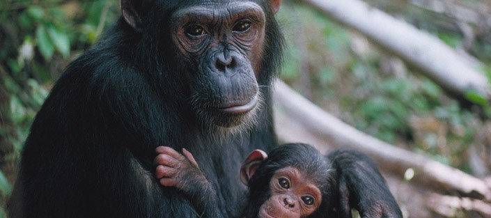 Chimpanzee Tracking at Budongo Forest – Uganda Safari News