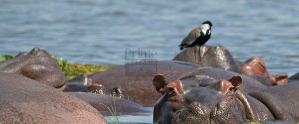 Hippos; the Big Water Giants in Murchison Falls National Park Uganda – Uganda Safari News