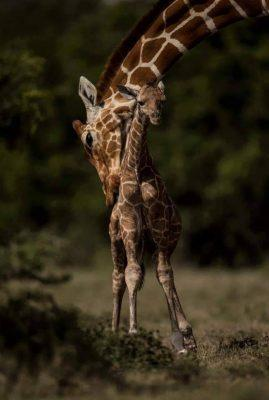 Giraffes Stand Tall Even When They Are Alone; Murchison Falls National Park Uganda